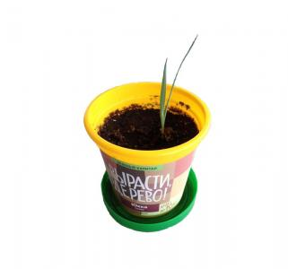 Набор для выращивания растений  Юкка сизая Вырасти дерево!